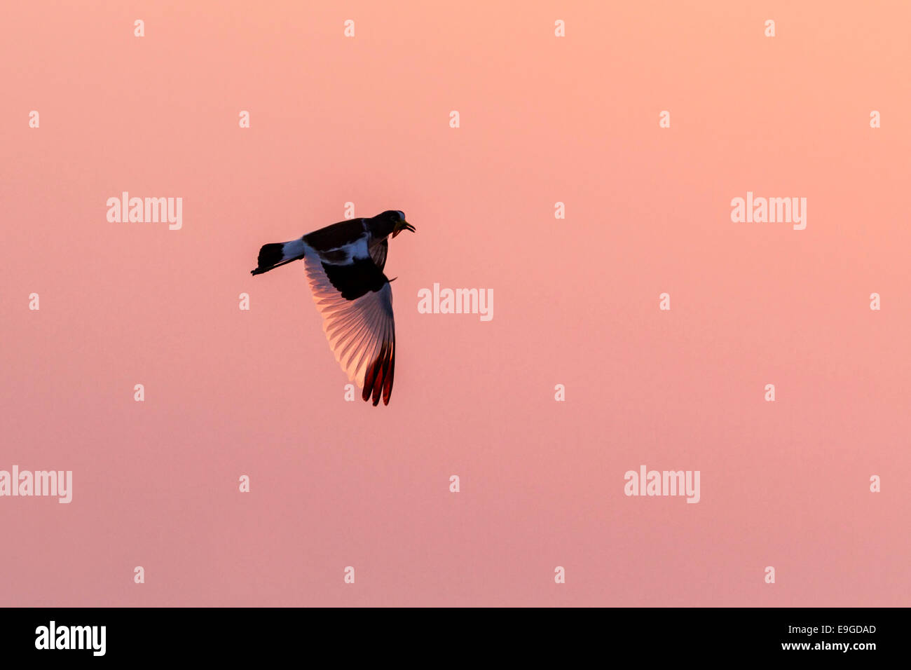 White-crowned Lapwing (Vanellus albiceps) in flight at sunrise, Lake Kariba, Zambia - Stock Image