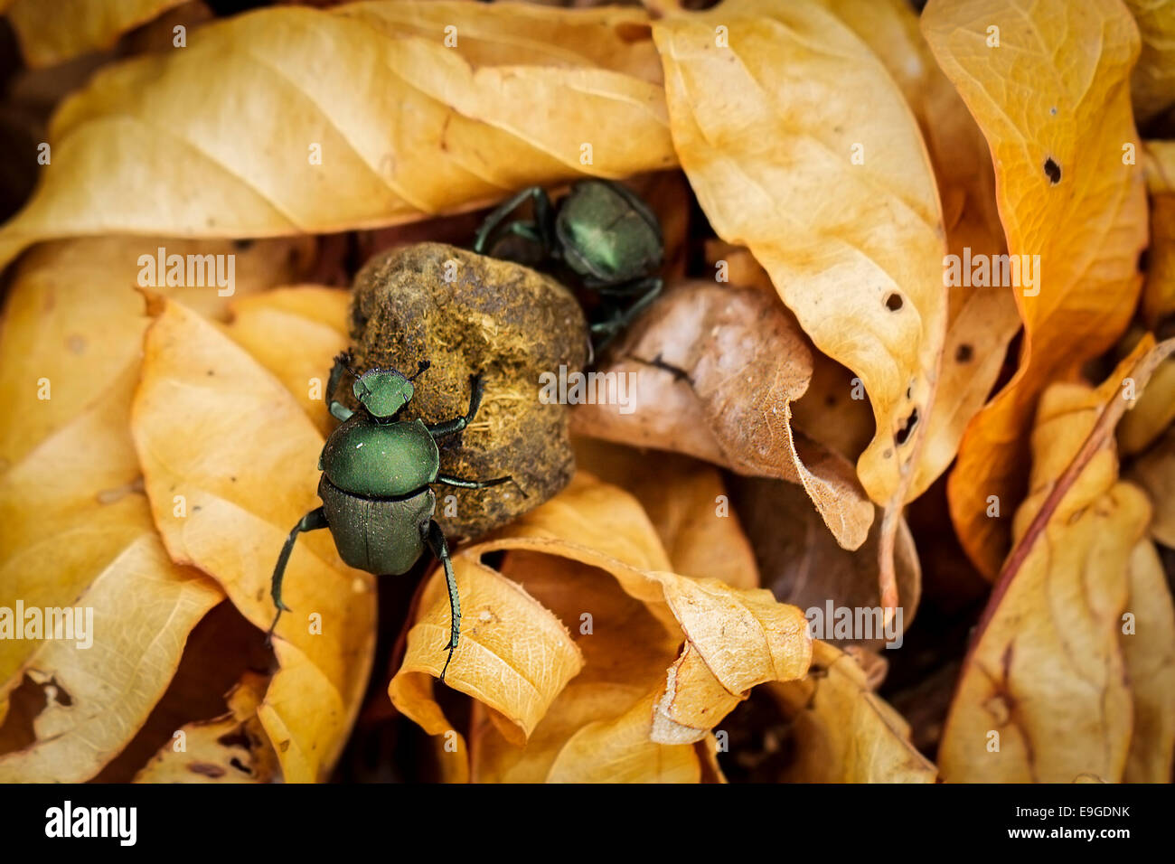 Male and female African dung beetles rolling dung together through gold coloured leaf litter, Zambia - Stock Image