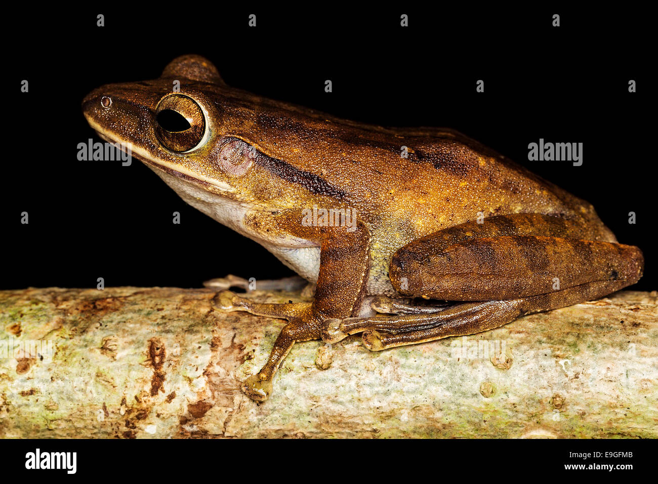 Common tree frog (Polypedates leucomystax) - Stock Image