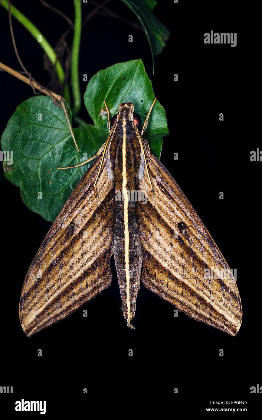 Moth resting on plant in tropical rainforest in Malaysia - Stock Image