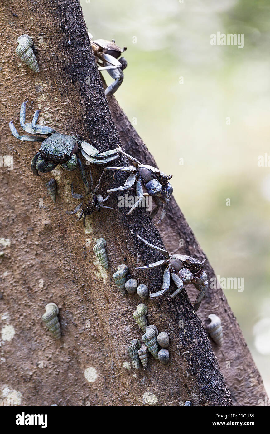 Tree-climbing crabs on a mangrove tree - Stock Image
