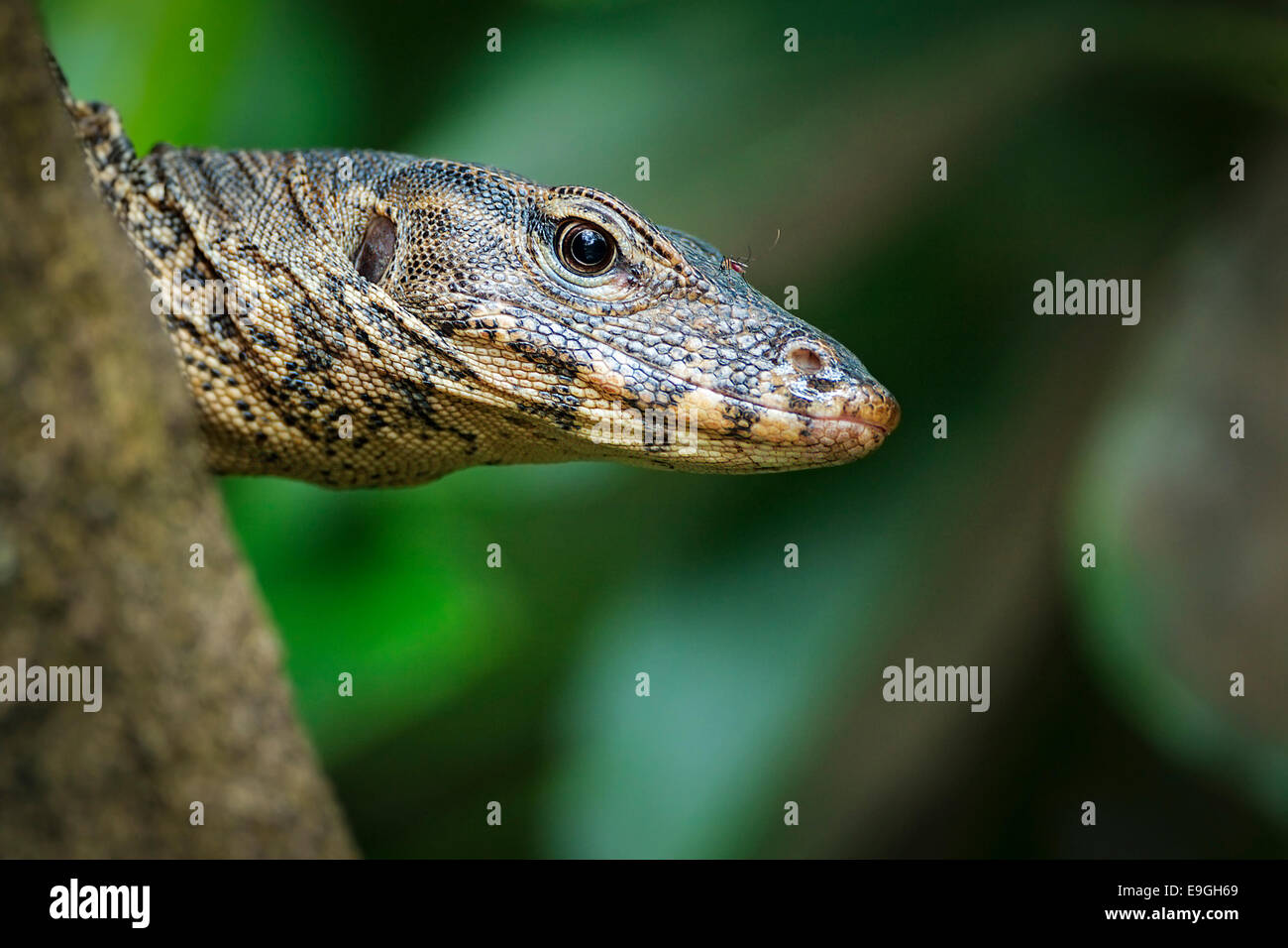 Malayan Water Monitor Lizard (Varanus salvator) climbing up a mangrove tree - Stock Image