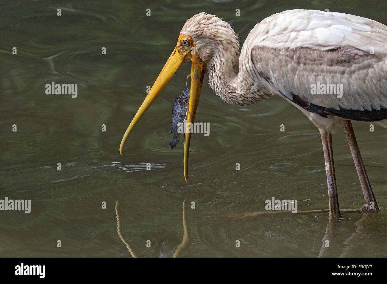 Milky stork (Mycteria cinerea) eating a fish - Stock Image