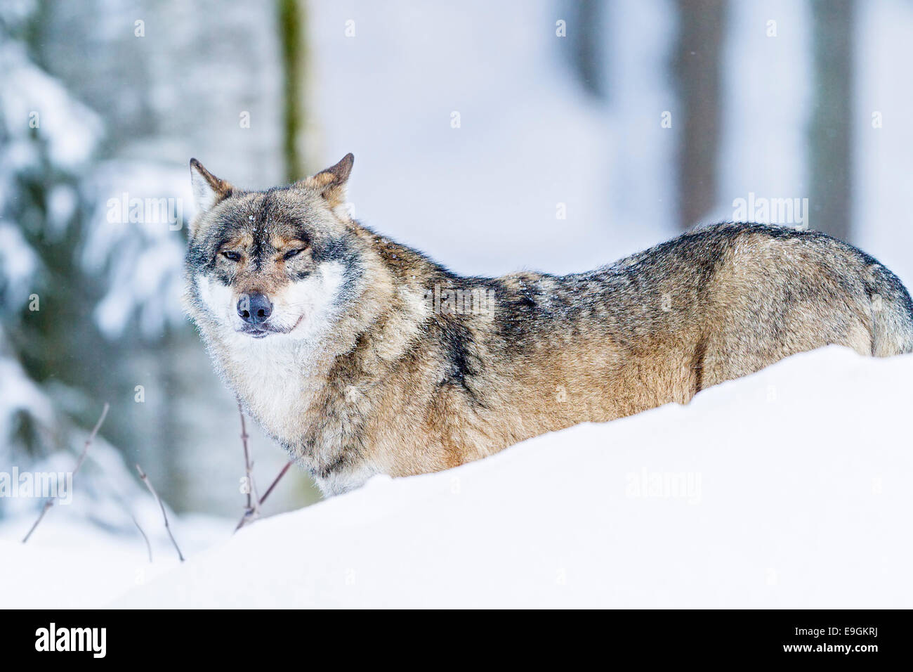 Captive Grey Wolf (Canis lupus) alpha male in the snow - Stock Image