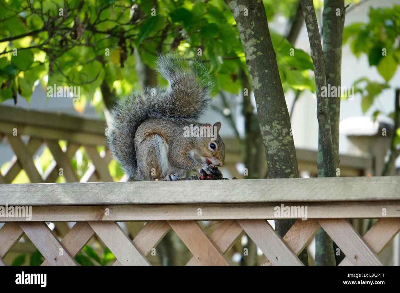 western-gray-squirrel-sciurus-griseus-sitting-on-a-wooden-backyard-E9GPTT.jpg