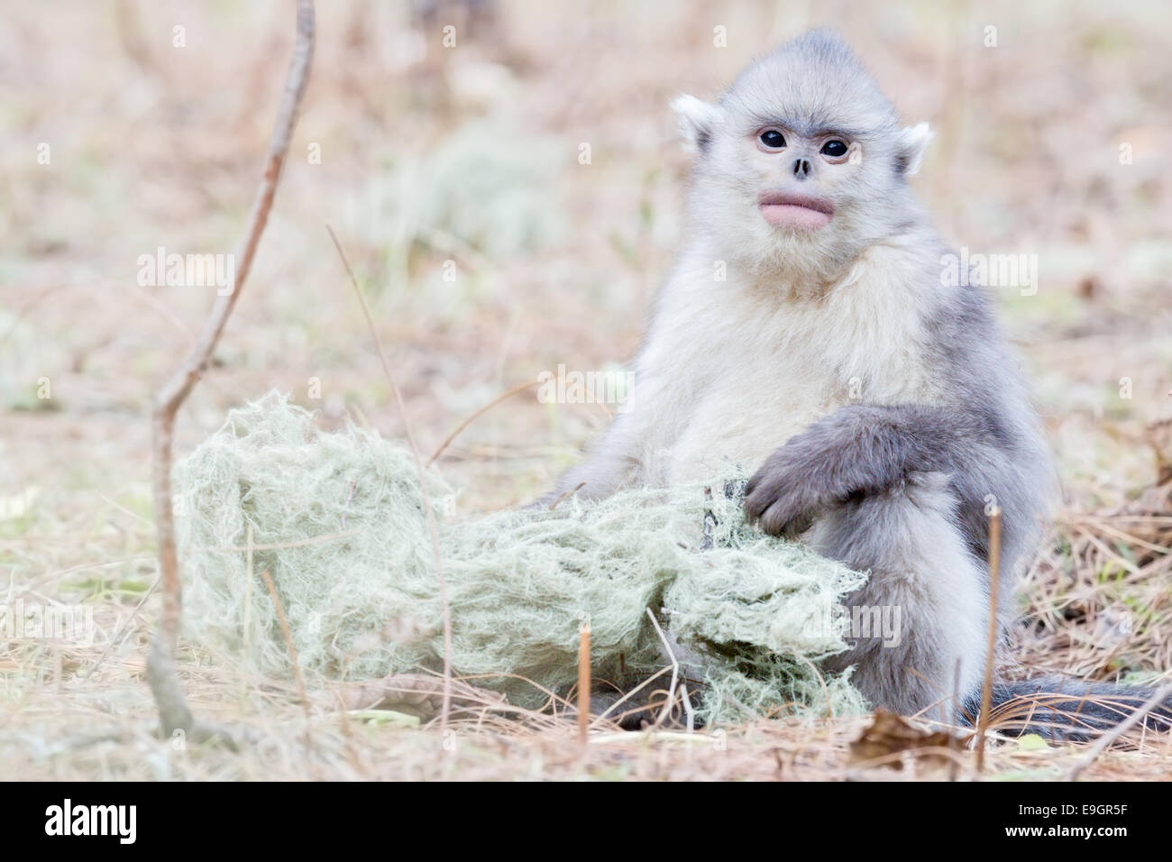 Juvenile Yunnan Snub-nosed Monkey (Rhinopithecus bieti) taking a rest from boisterous play to feed - Stock Image