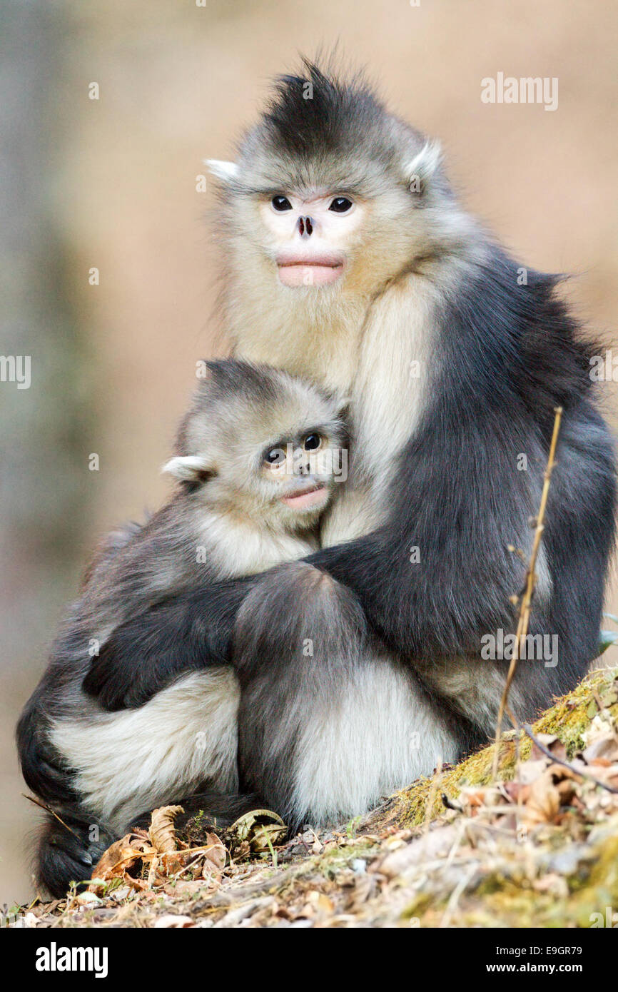 Adult female Yunnan Snub-nosed Monkey (Rhinopithecus bieti) holding infant - Stock Image