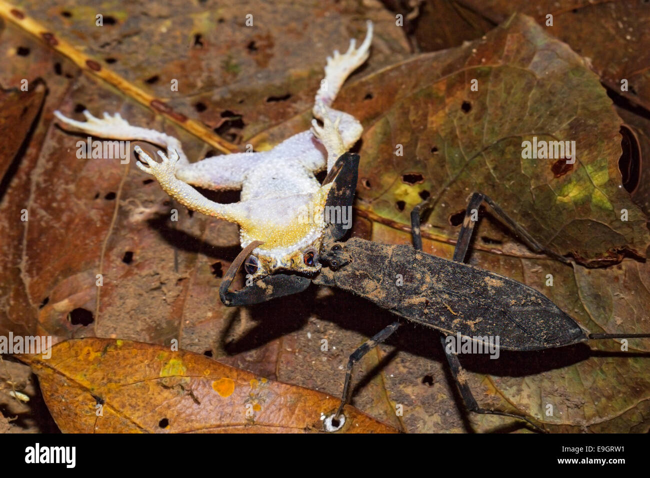A water scorpion preys on a Malayan Dwarf Toad (Ingerophrynus divergens) at night in a tropical rainforest in Thailand - Stock Image