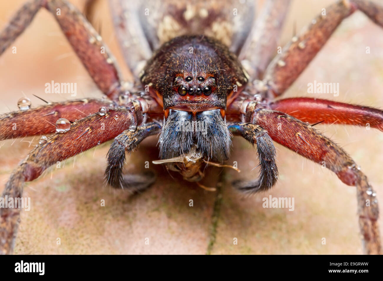 Huntsman spider (Heteropoda sp.) feeding on a bug in tropical rainforest of Malaysia - Stock Image