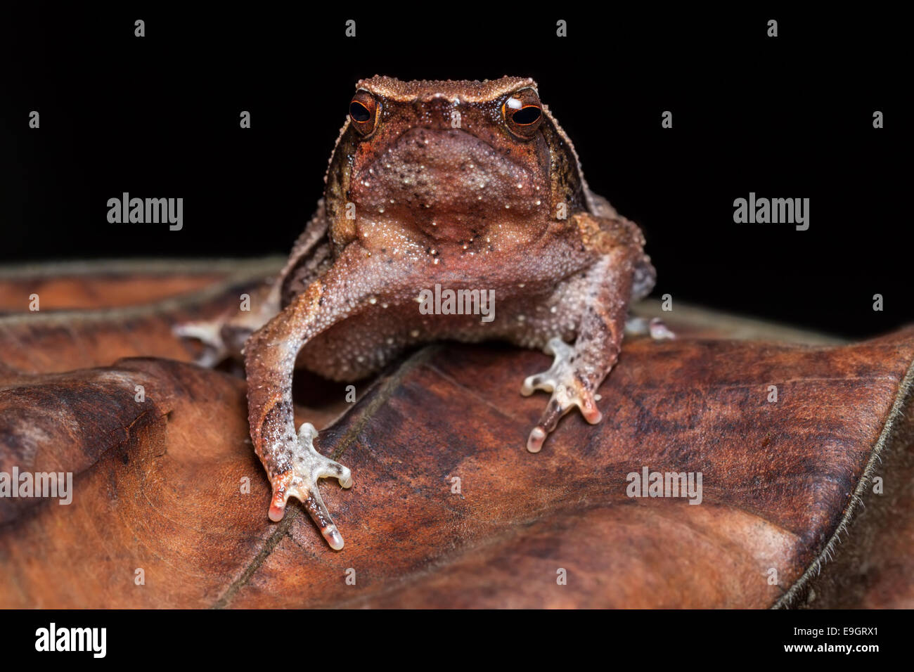 Black-spotted Sticky Frog (Kalophrynus pleurostigma) in a Malaysian tropical rainforest at night - Stock Image