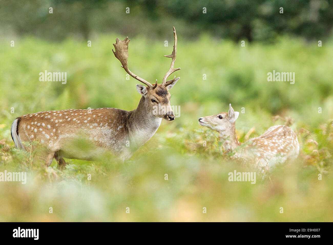 Fallow Deer (Dam dama) stag interacting with a fawn during the annual rut - Stock Image