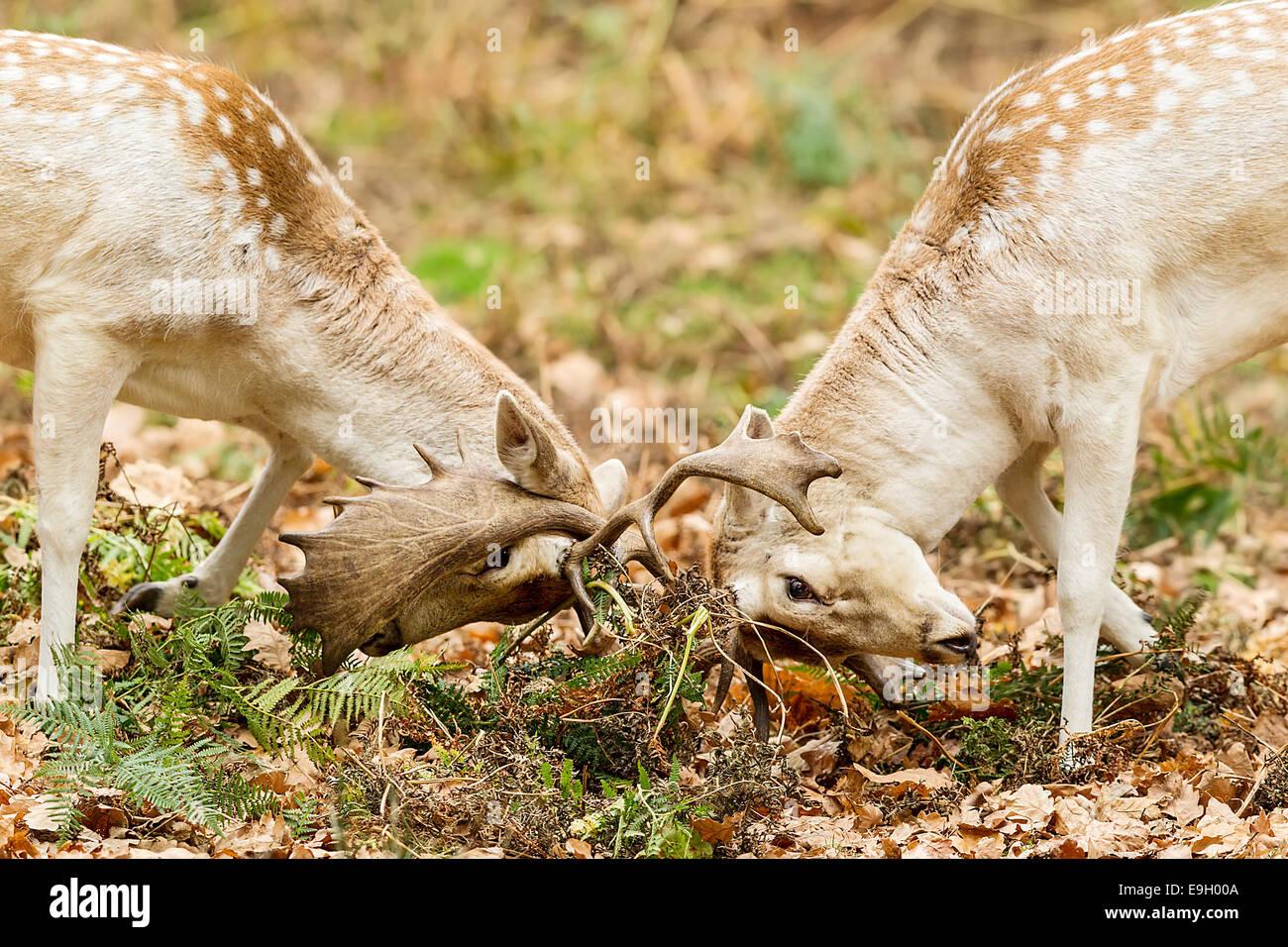 Fallow deer (Dama dama) stags locking antlers during their annual rut - Stock Image