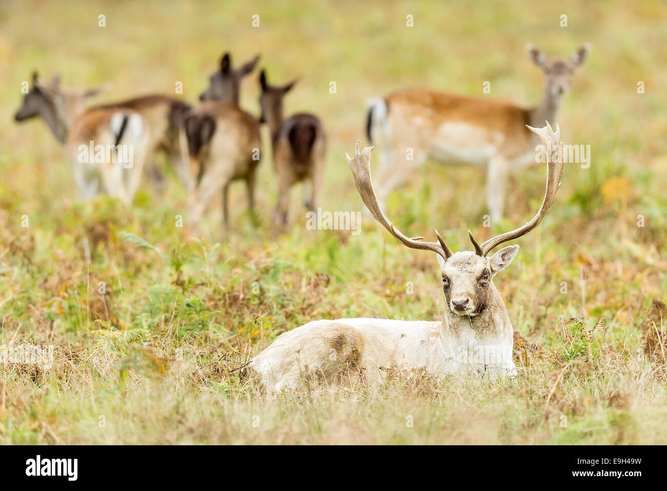 Fallow deer (Dama dama) stag sitting in front of harem of hinds during annual rut - Stock Image