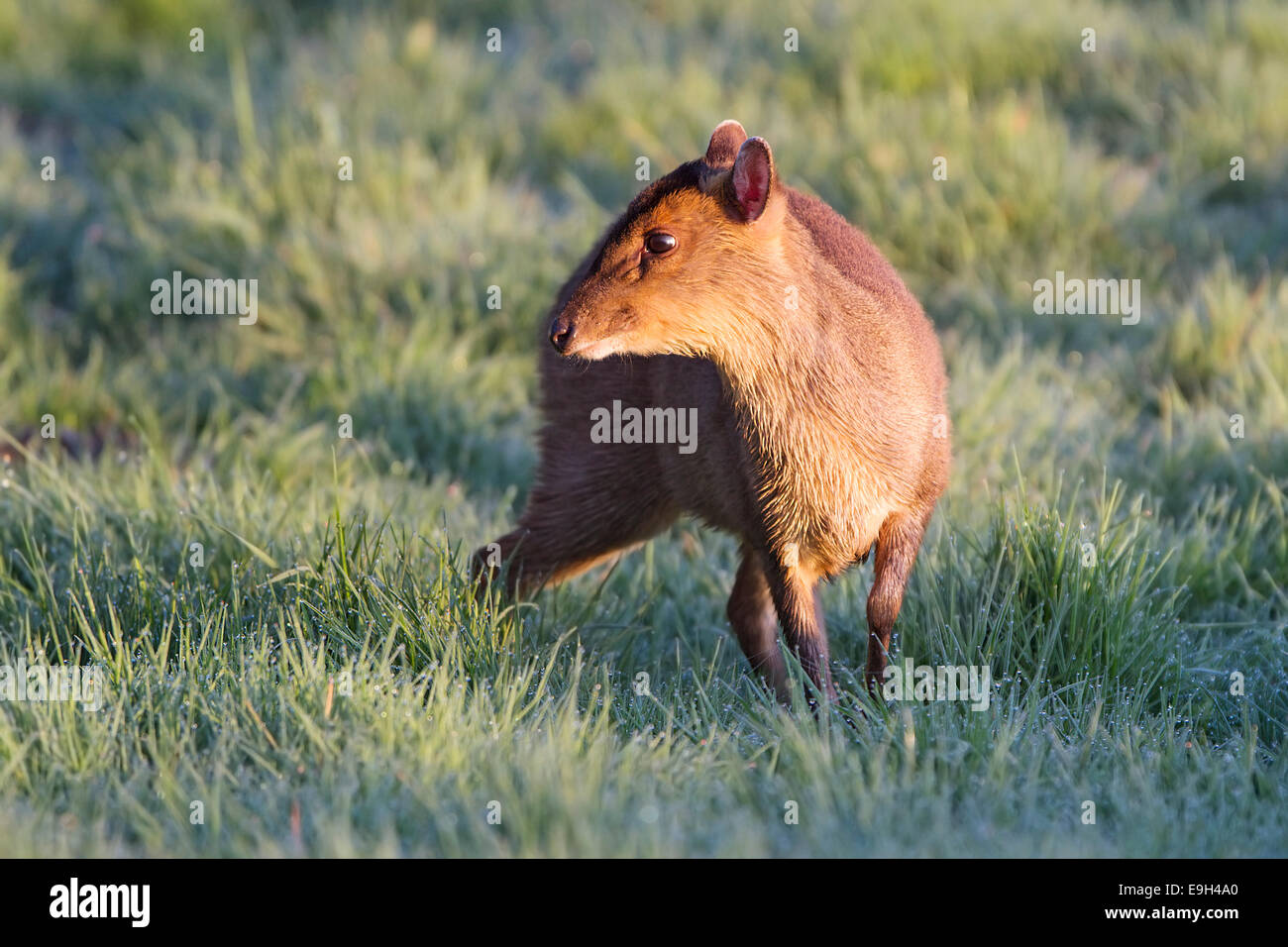 Female Reeve's Muntjac (Muntiacus reevesi) emerging to feed in a dew covered meadow at sunrise - Stock Image