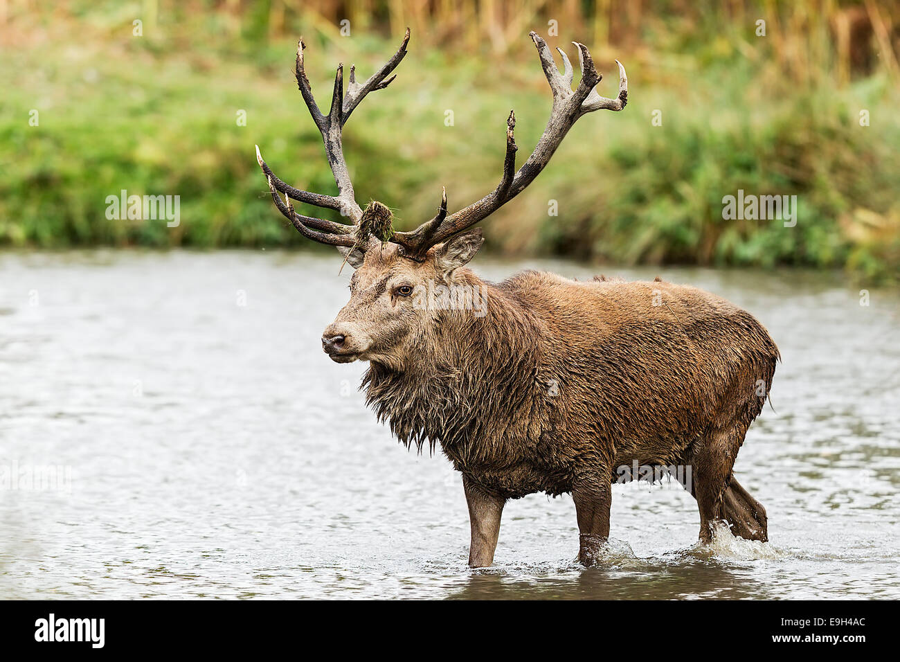 Red deer (Cervus elaphus) stag during the annual rut - Stock Image