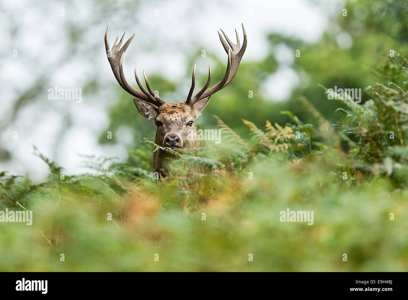 Red deer (Cervus elaphus) during the annual rut - Stock Image