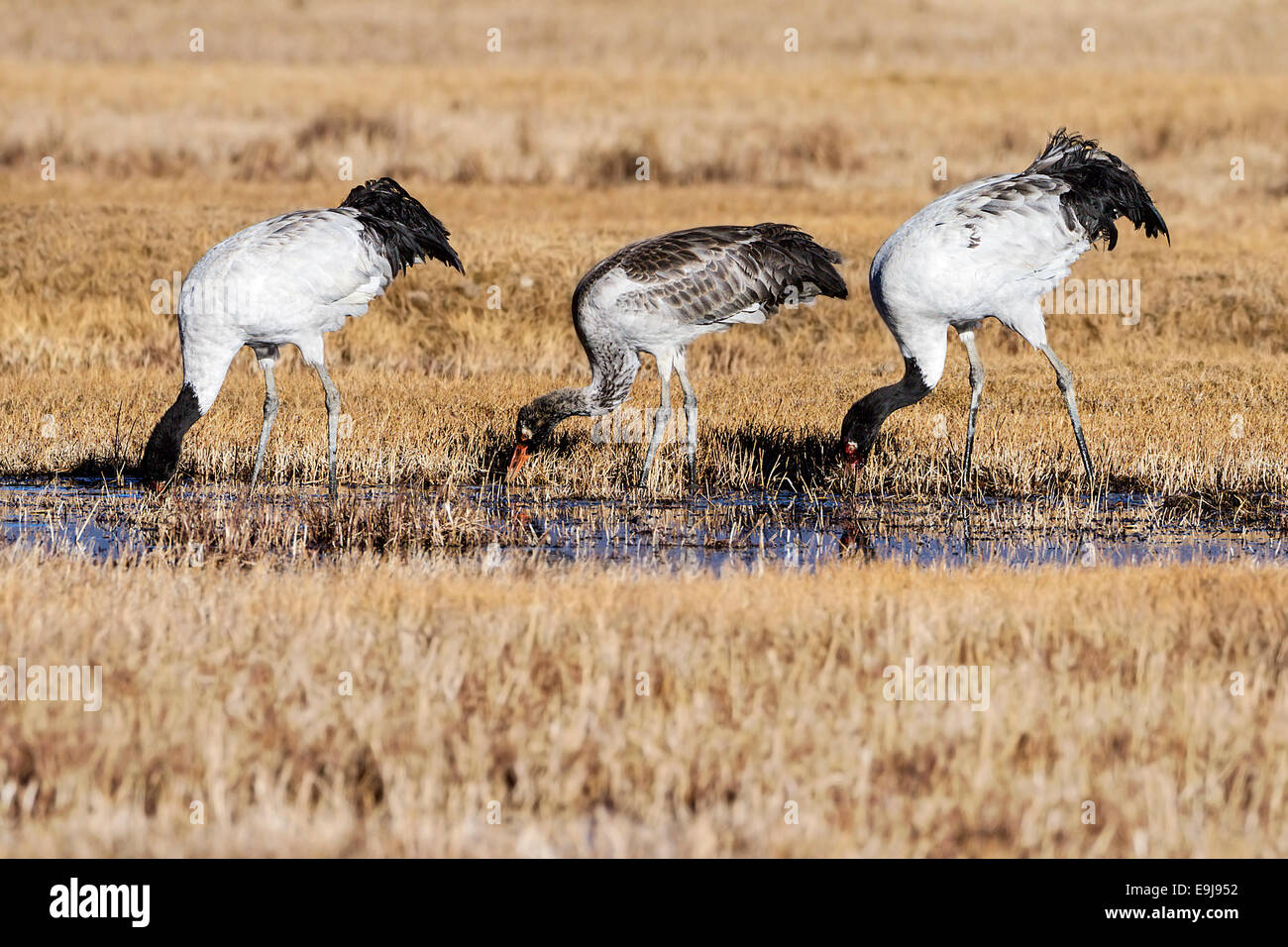 Black-necked Crane (Grus nigricollis) family foraging together at winter feeding ground, Lake Napa, Yunnan, China - Stock Image