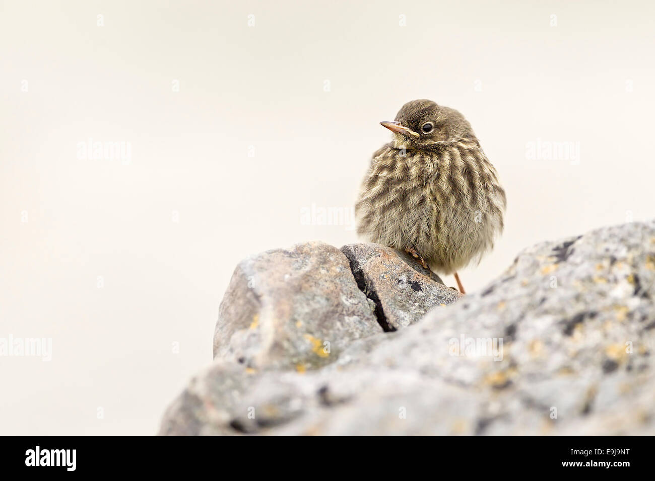 Rock Pipit (Anthus petrosus) - Stock Image