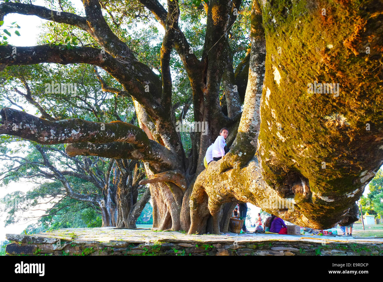 Kid sitting on gigantic tree. - Stock Image