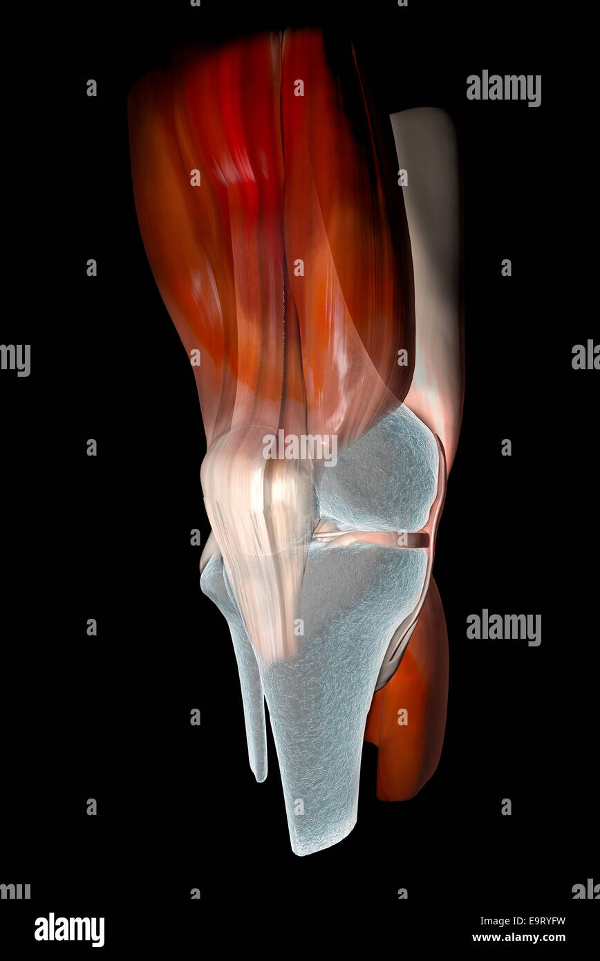 3d Knee ligaments, tendons, bones, muscles x-ray Stock Photo ...