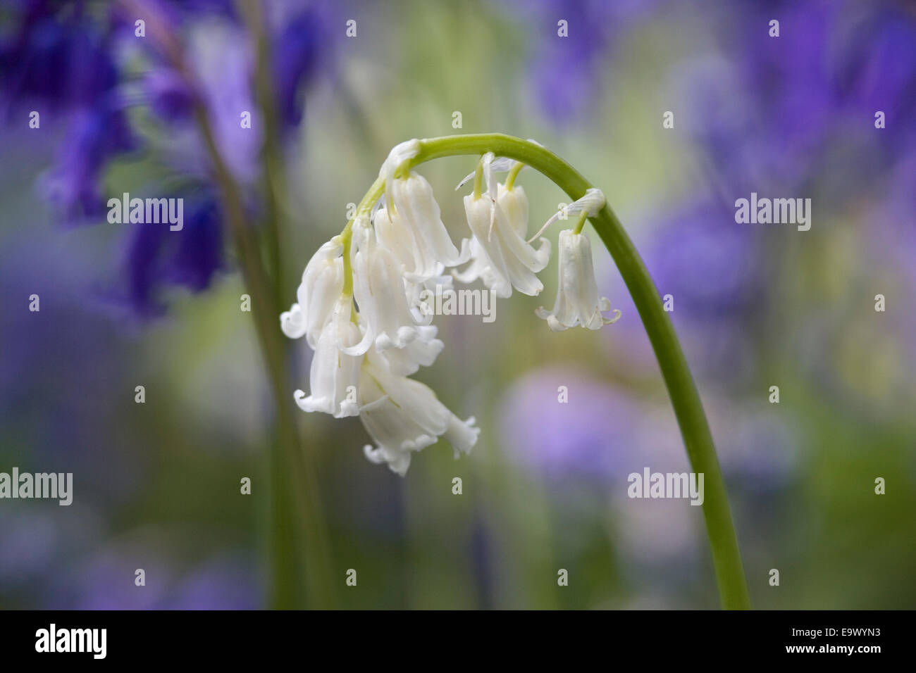 Great white bluebells flowers images wedding and flowers generous white bluebells flowers pictures inspiration wedding and mightylinksfo Gallery