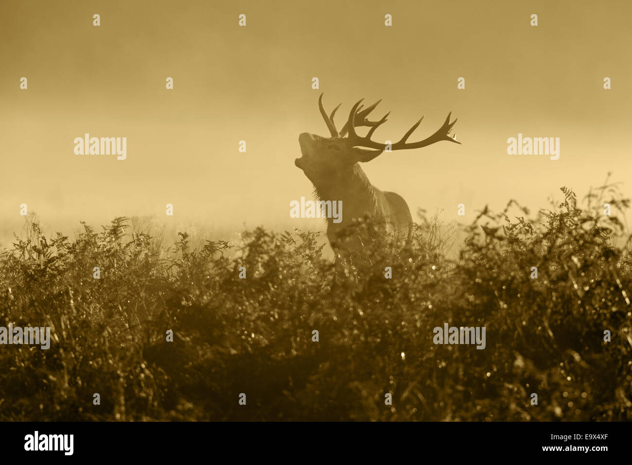 A Red Deer (Satg)- Cervus elaphus in the mist  at sunrise bellowing during the rut at Richmond Park, London, England, - Stock Image