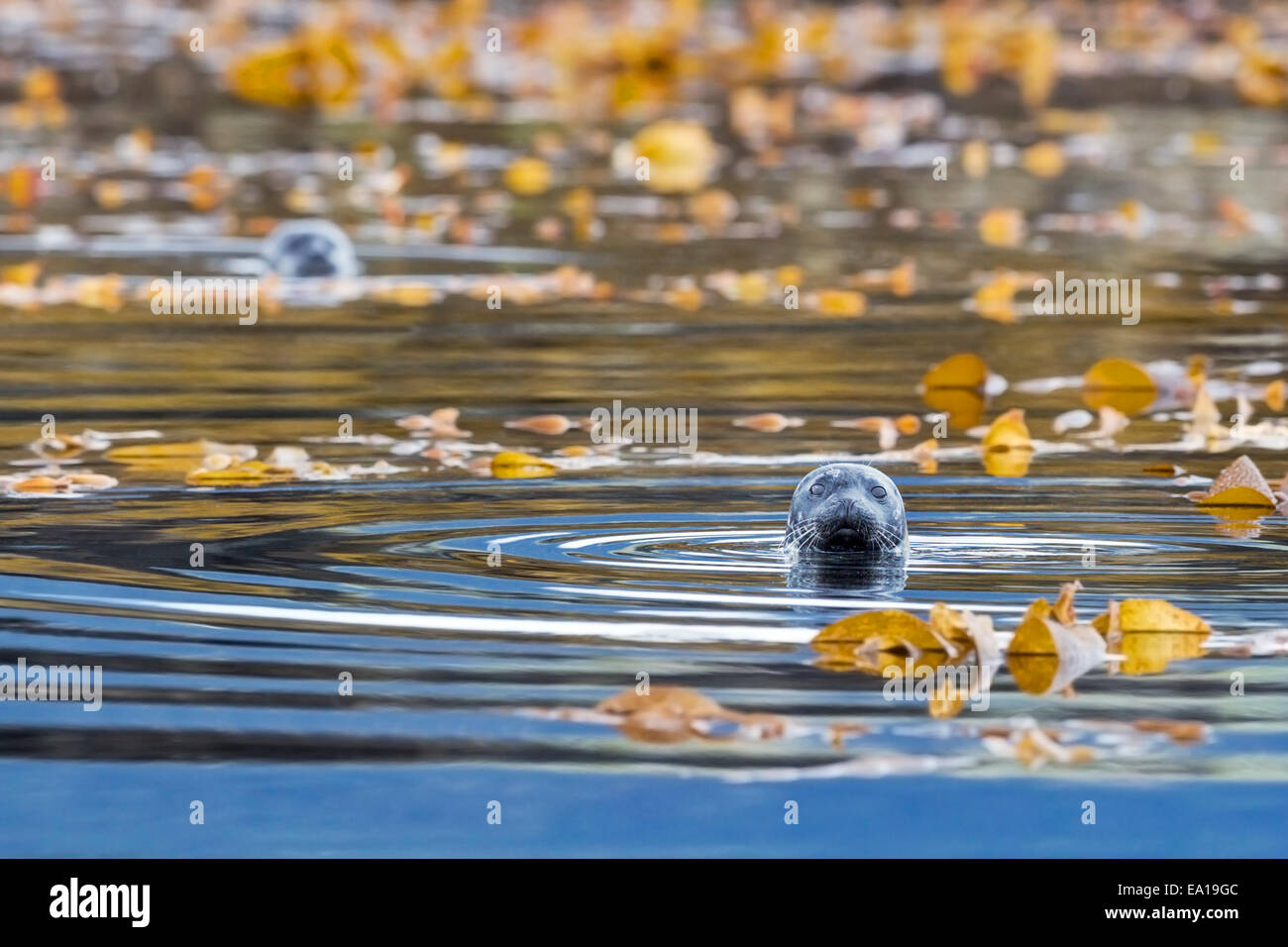 Harbour seals (Phoca vitulina) bottling amidst the kelp near the shore of the Tongass National Forest, Southeast - Stock Image