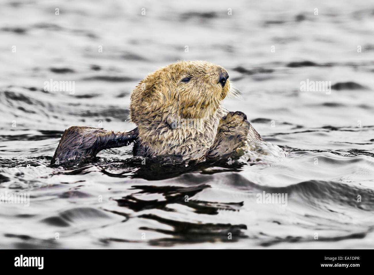 Northern sea otter grooming buoyantly in the sea off the Alaska coast - Stock Image