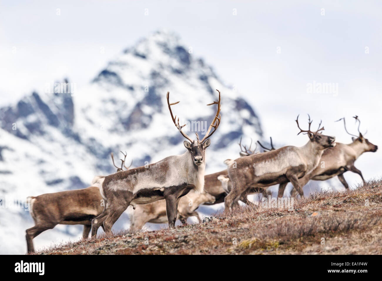 Nelchina Caribou herd mountain crossing in Alaska Range. - Stock Image