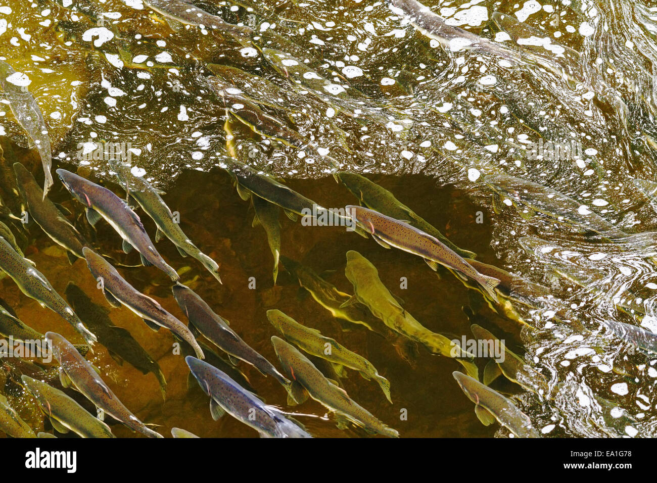 Pacific Pink salmon (Oncorhynchus gorbuscha) returning to their natal river to spawn in the Tongass National Forest, - Stock Image