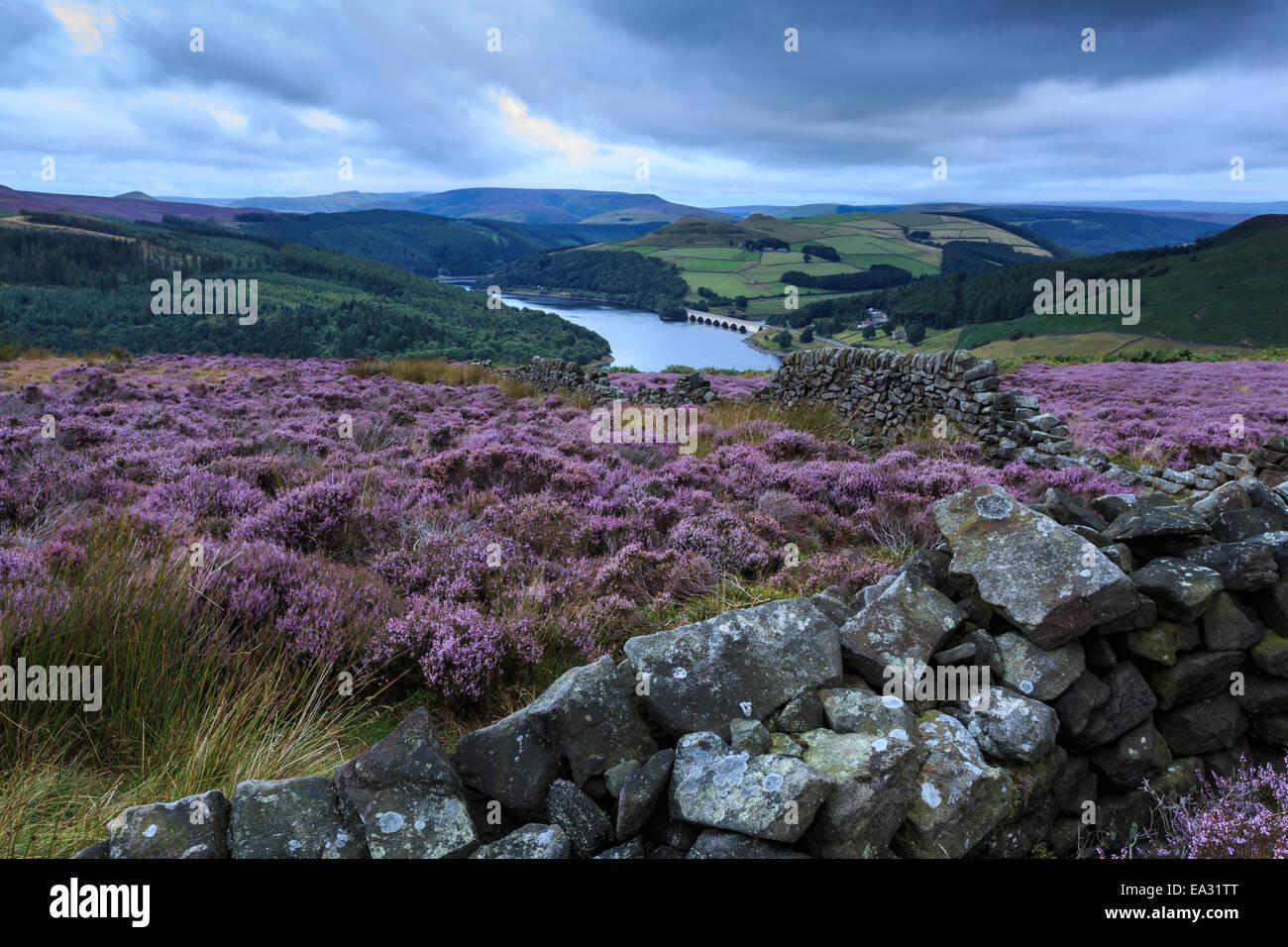 Heather covered Bamford Moor, Ladybower Reservoir and Ashopton Bridge at dawn in summer, Peak District, Derbyshire, - Stock Image