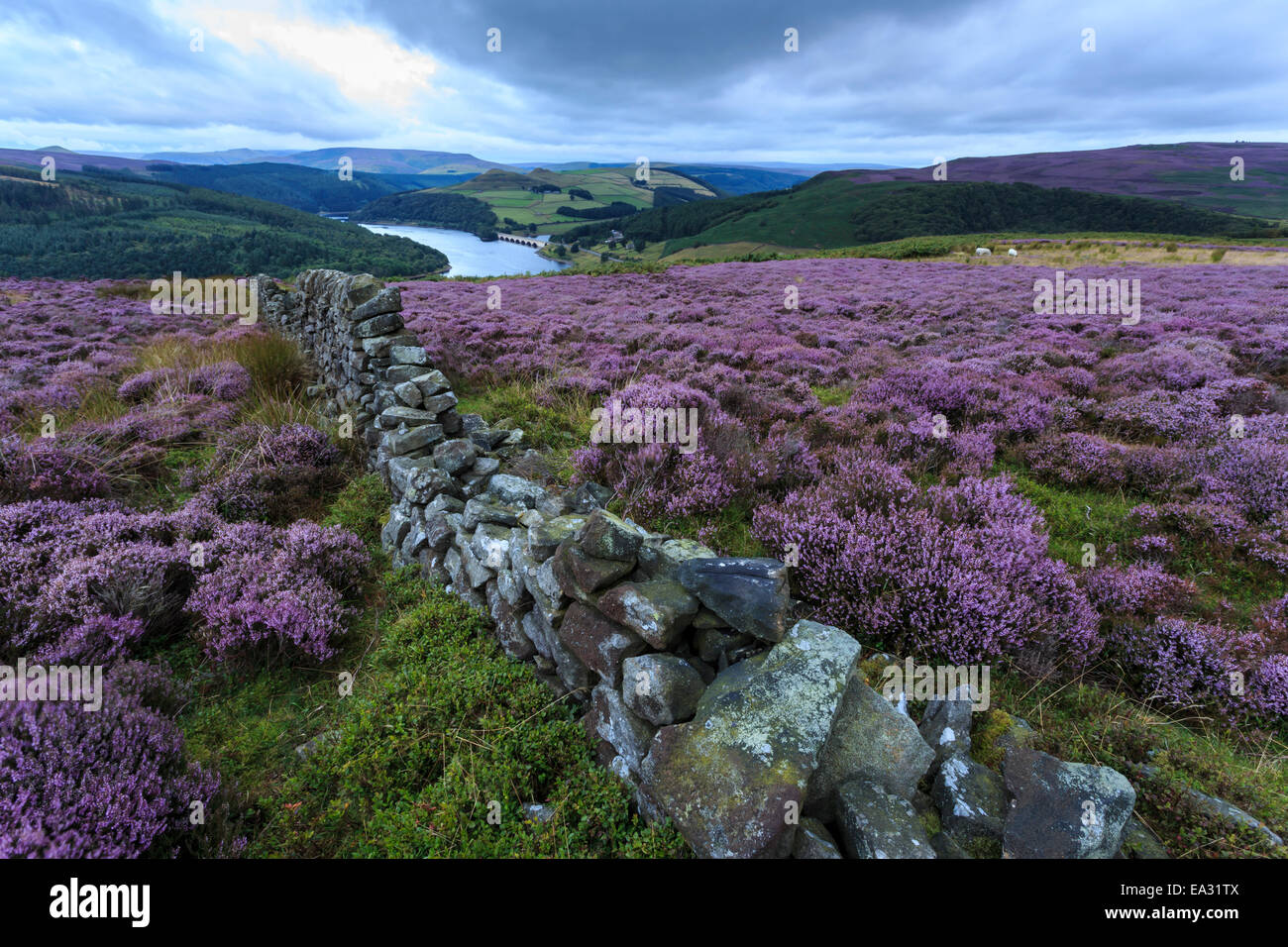 Heather covered Bamford Moor, dry stone wall and Ladybower Reservoir at dawn in summer, Peak District, Derbyshire, - Stock Image
