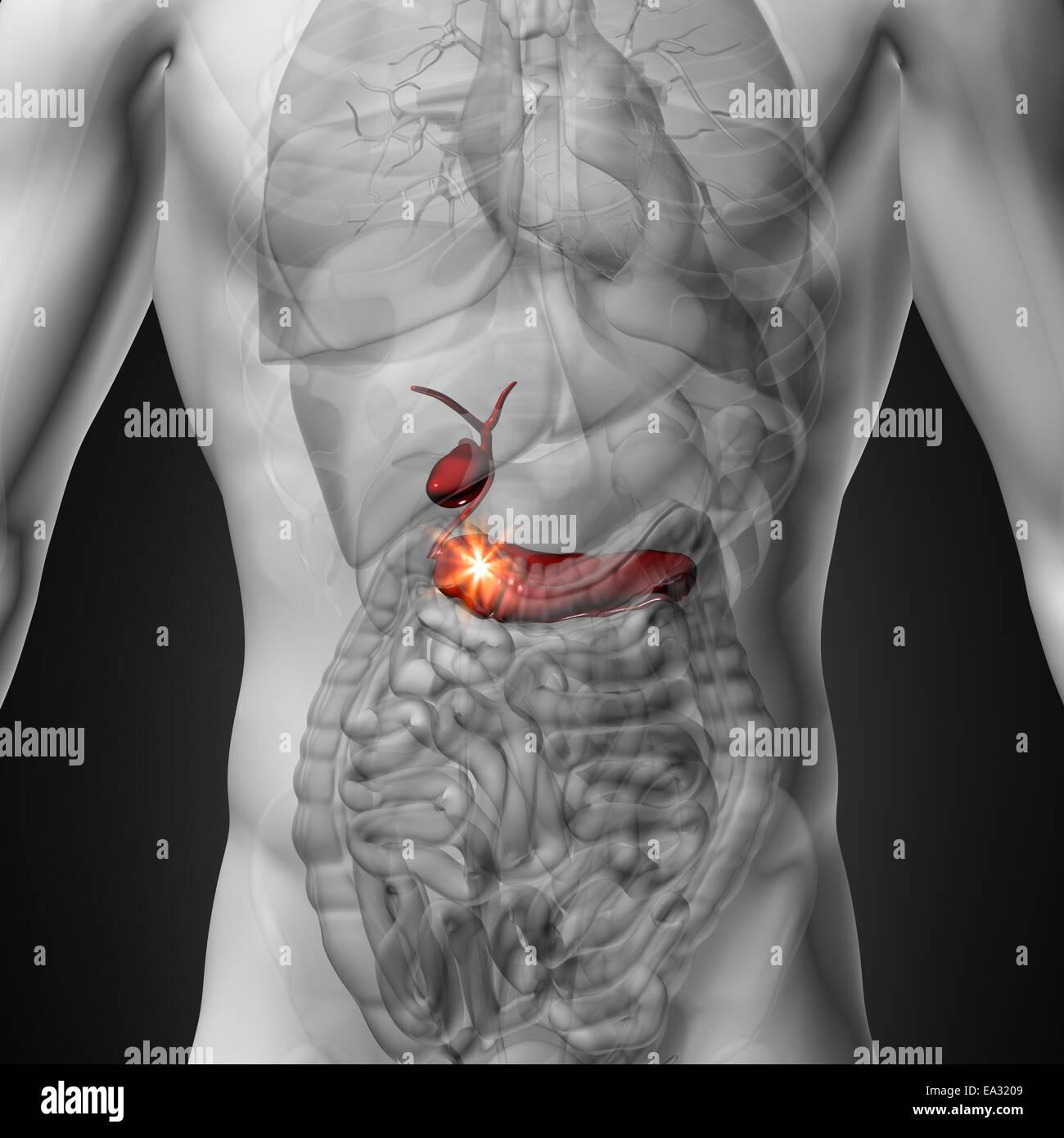 Panreas Anatomy Diagram Male Organ - Electrical Work Wiring Diagram •