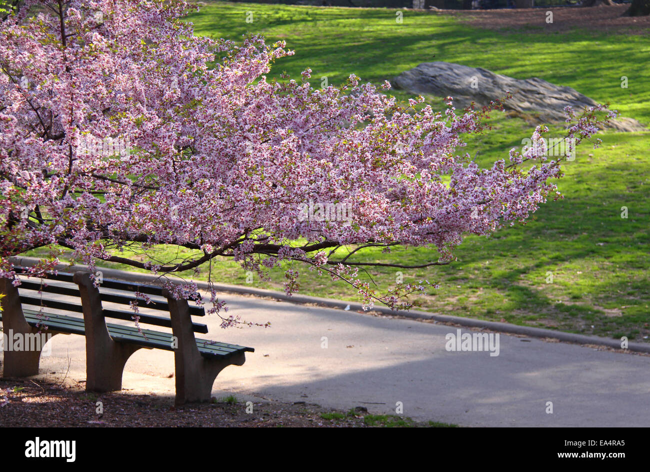 Spring Blossoming Cherry Tree Branches And Bench In Central Park