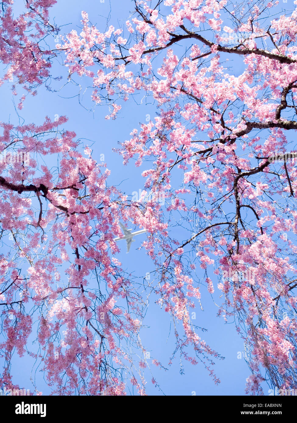 Cherry Blossoms and Airplane on sunny Spring day - Stock Image