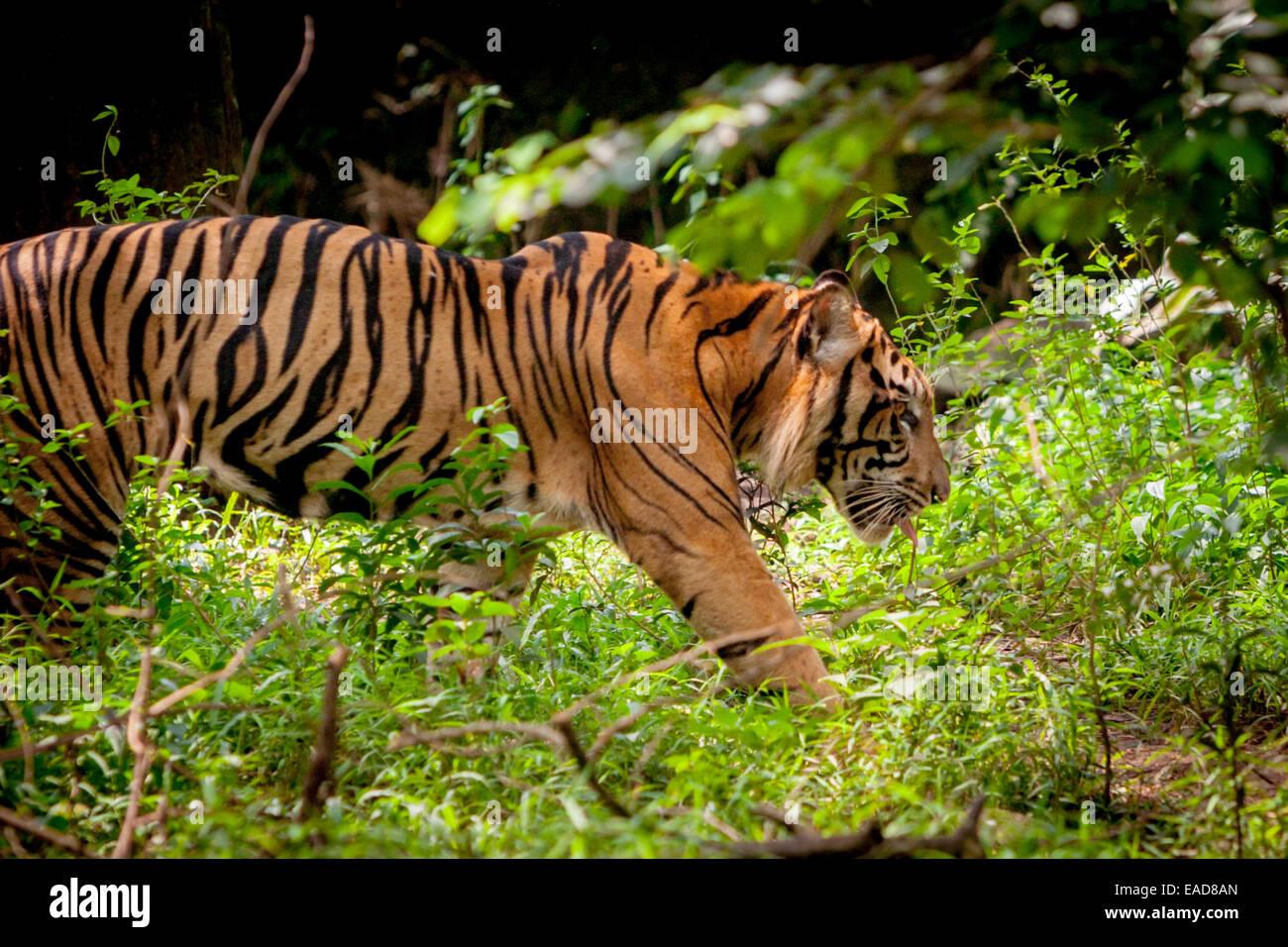 Sumatran tiger (Panthera tigris sumatrae) at Jakarta Zoo, Jakarta, Indonesia. - Stock Image