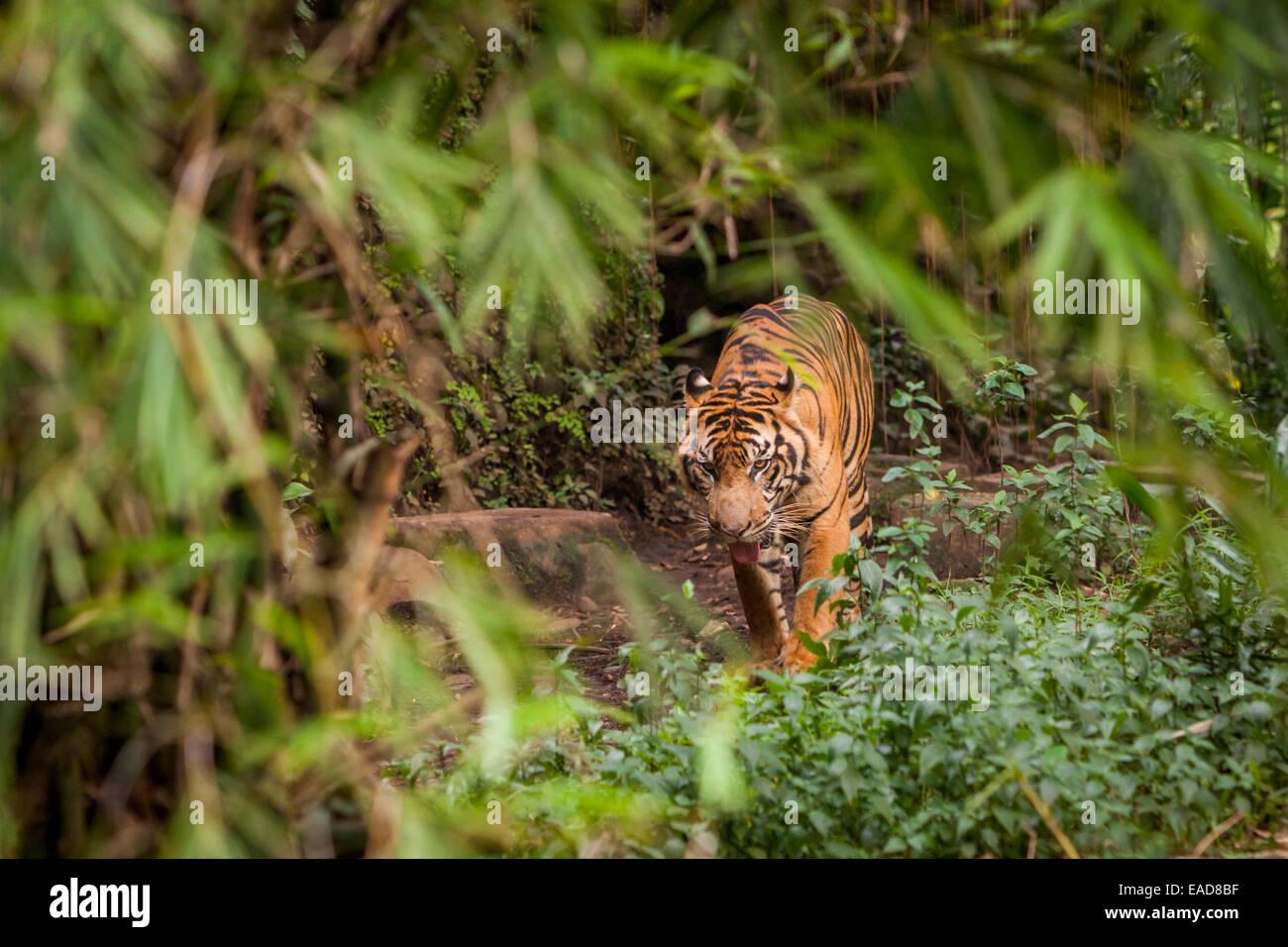Tiger at Jakarta Zoo, Jakarta, Indonesia. - Stock Image
