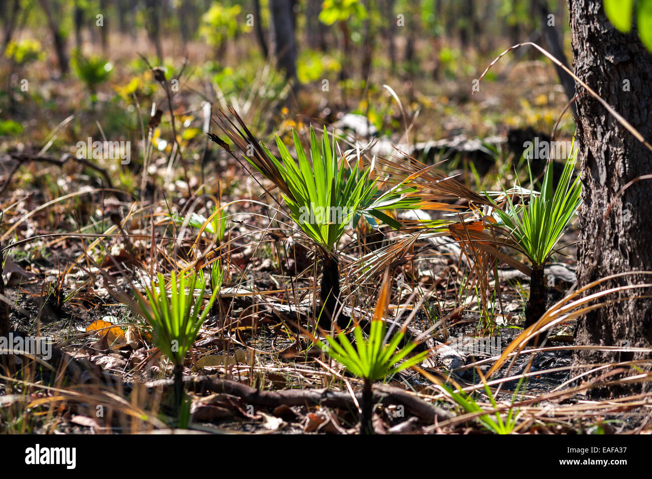 https://c7.alamy.com/comp/EAFA37/regrowth-re-growth-nature-regeneration-after-a-controlled-forest-fire-EAFA37.jpg