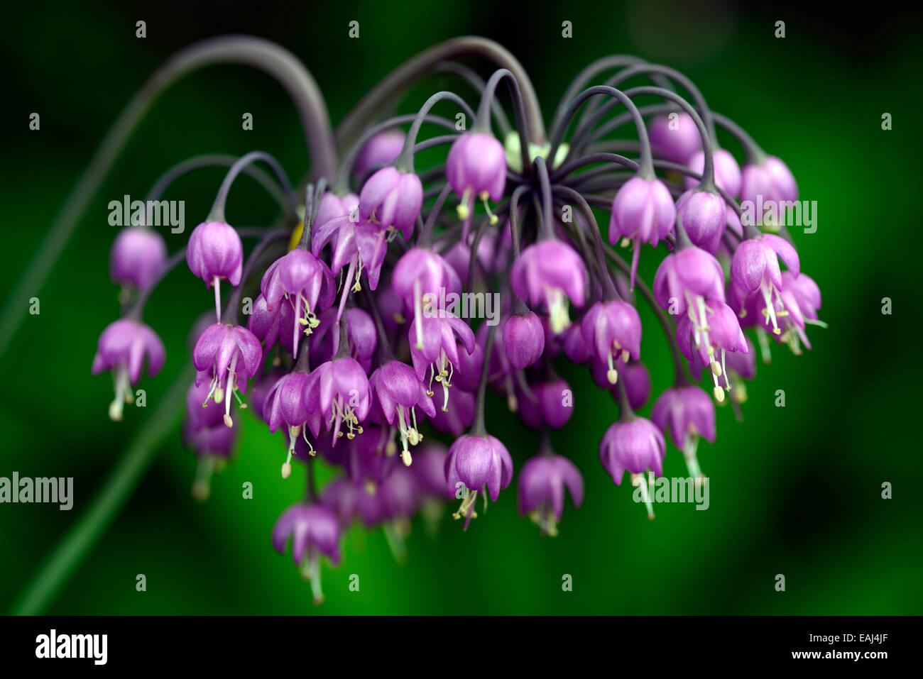 Allium cernuum purple flower flowers flowering nodding onions ladys allium cernuum purple flower flowers flowering nodding onions ladys leek bulbs pink wild onion wild rm floral mightylinksfo