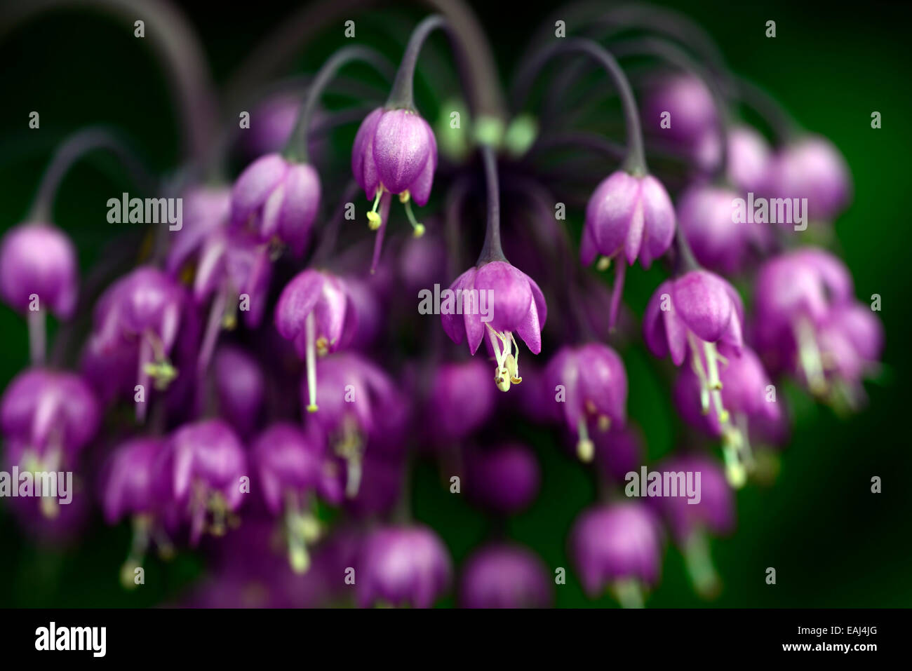 Allium Cernuum Purple Flower Flowers Flowering Nodding Onions Ladys
