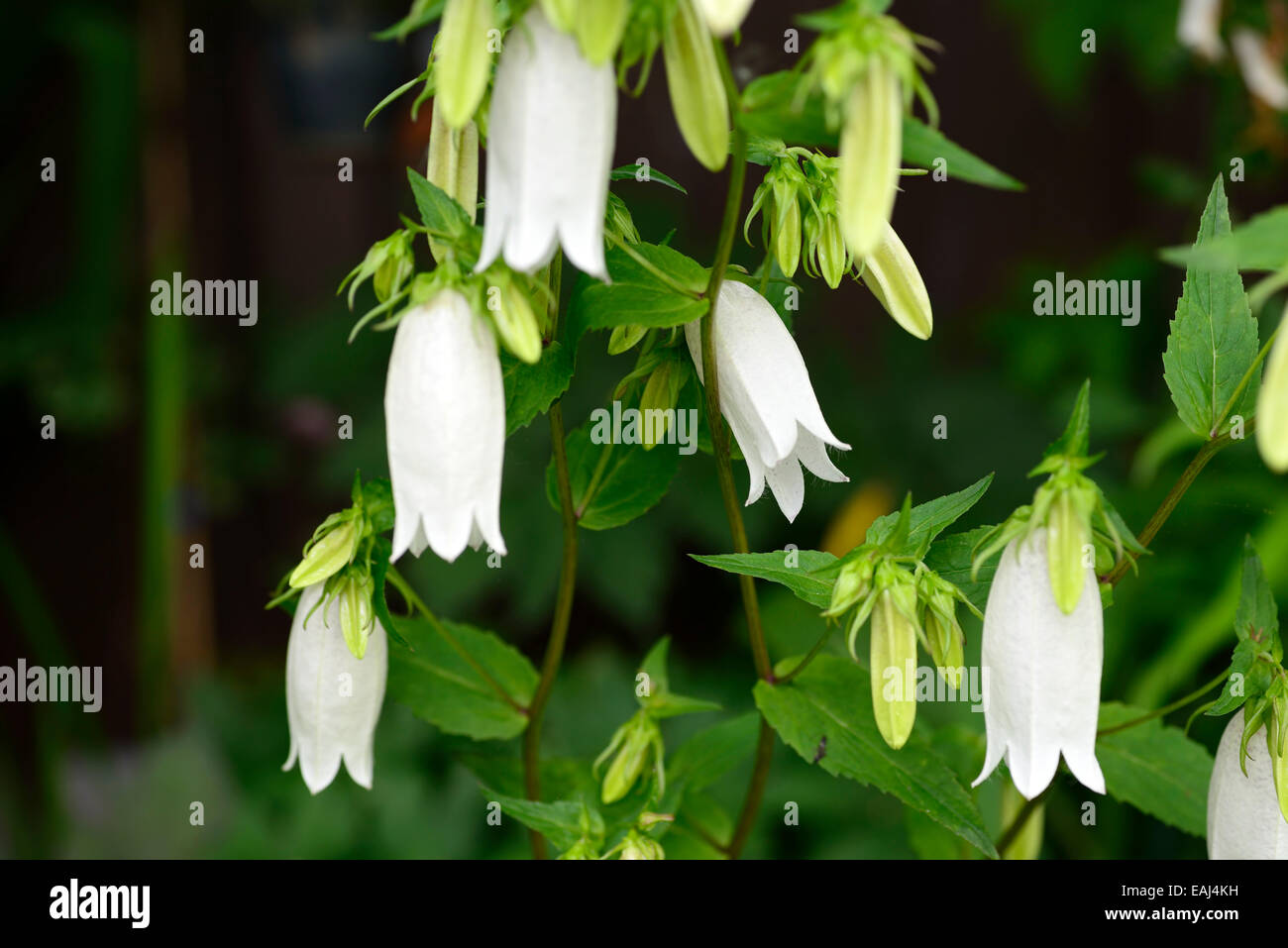 Campanula takesimana alba white bellflower flowers bell shaped stock campanula takesimana alba white bellflower flowers bell shaped herbaceous perennial korean bellflowers rm floral mightylinksfo Choice Image