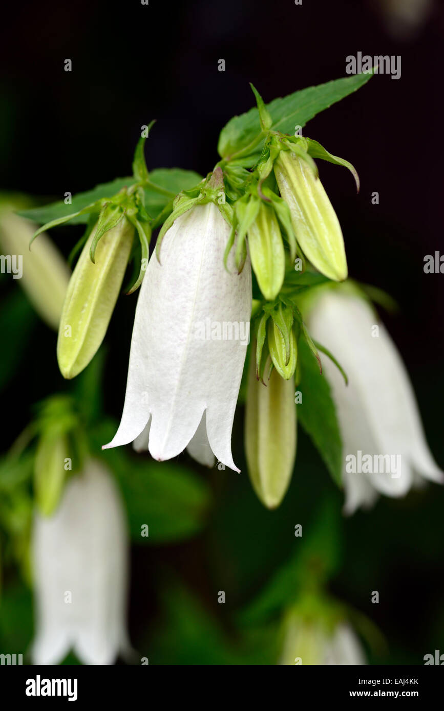 Campanula takesimana alba white bellflower flowers bell shaped stock campanula takesimana alba white bellflower flowers bell shaped herbaceous perennial korean bellflowers rm floral mightylinksfo