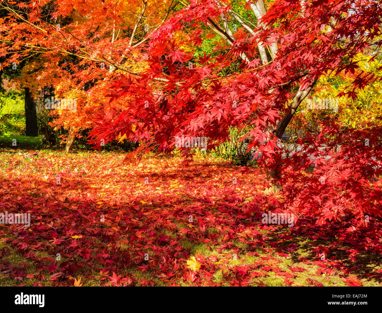 colorful-gold-yellow-orange-and-red-japanese-maple-trees-with-fall-EAJ72M.jpg