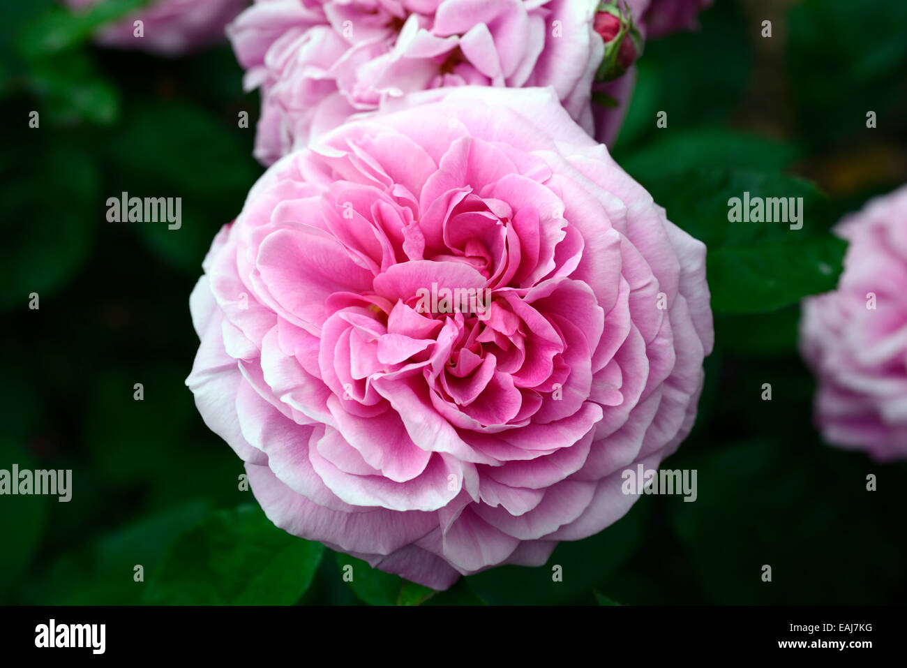 Rosa gertrude jekyll ausbord rose flower pink flowering flowers rosa gertrude jekyll ausbord rose flower pink flowering flowers fragrant scented climbing climber shrub shrubs rm floral mightylinksfo Image collections