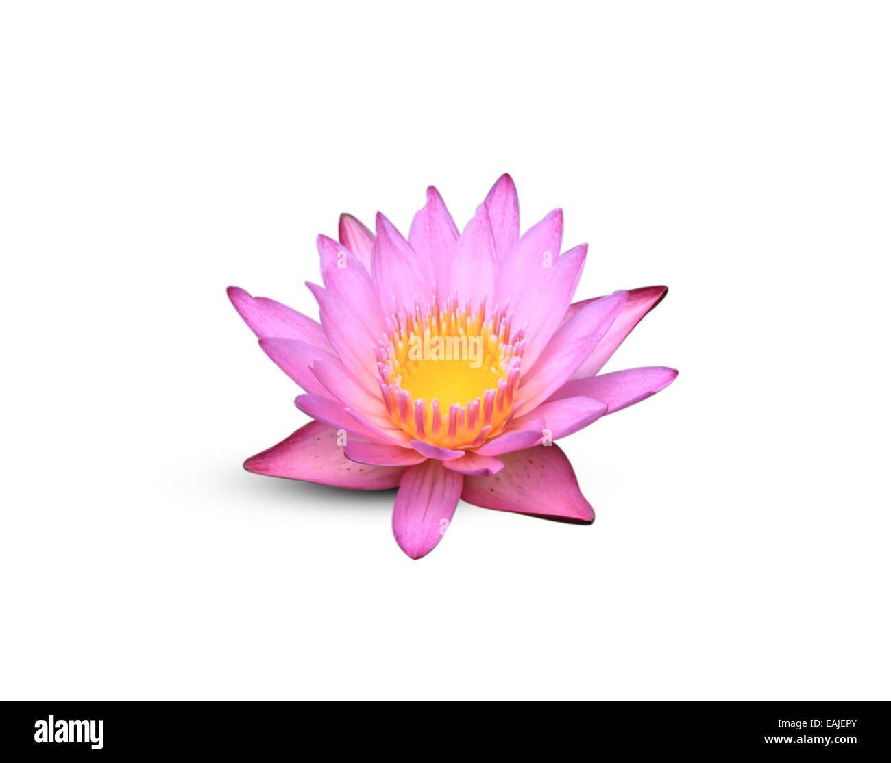 Lotus flower blossom isolated on white background stock photo lotus flower blossom isolated on white background stock photo 75394787 alamy izmirmasajfo
