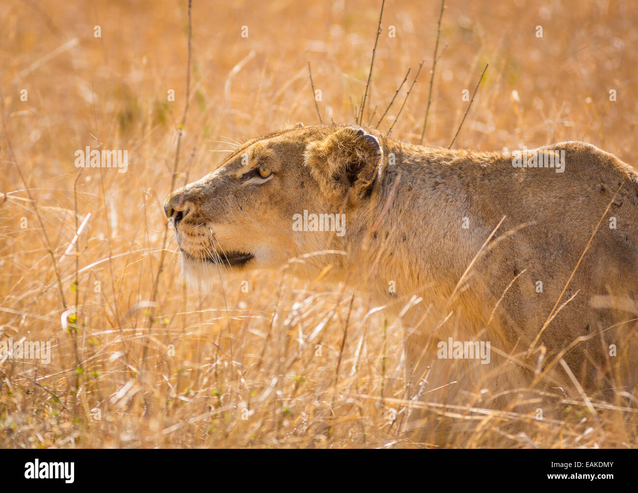 Lion Hunting Africa Stock Photos & Lion Hunting Africa ...