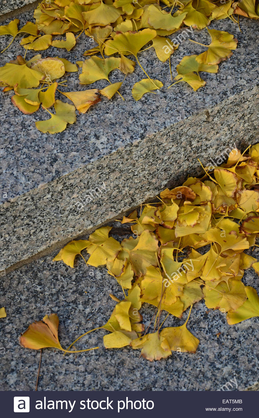 Ginkgo leaves on the granite steps at the Nelson-Atkins Museum of ...