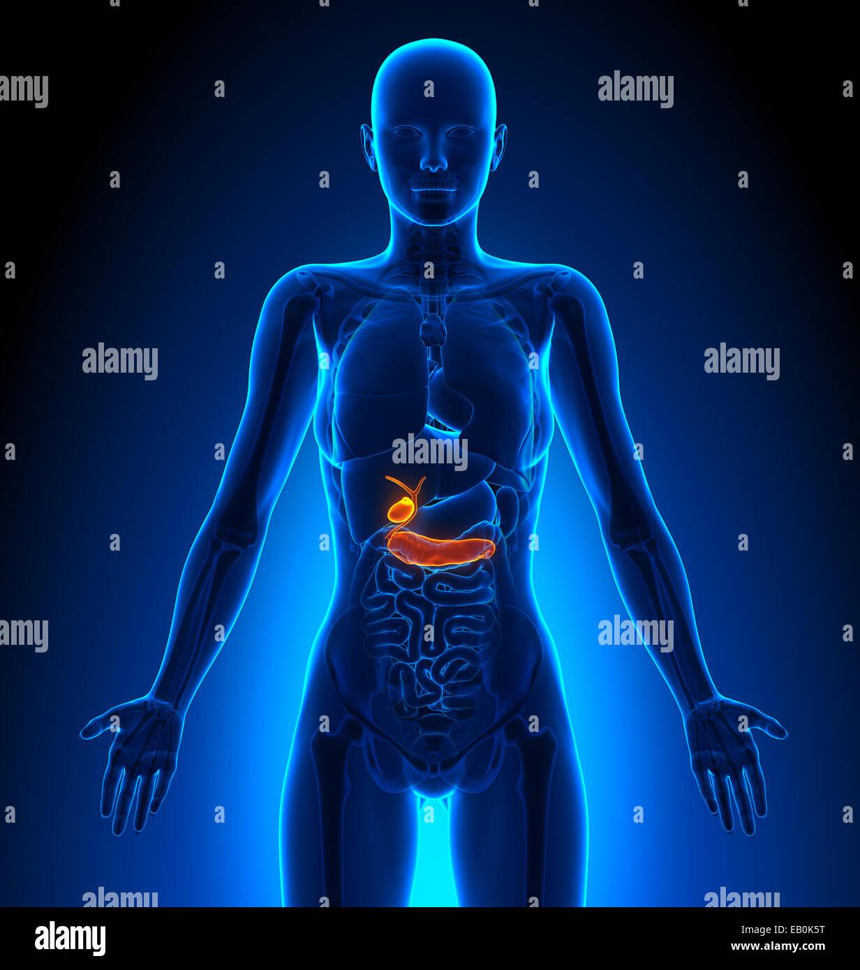 Gallbladder Pancreas Female Organs Human Anatomy Stock Photo