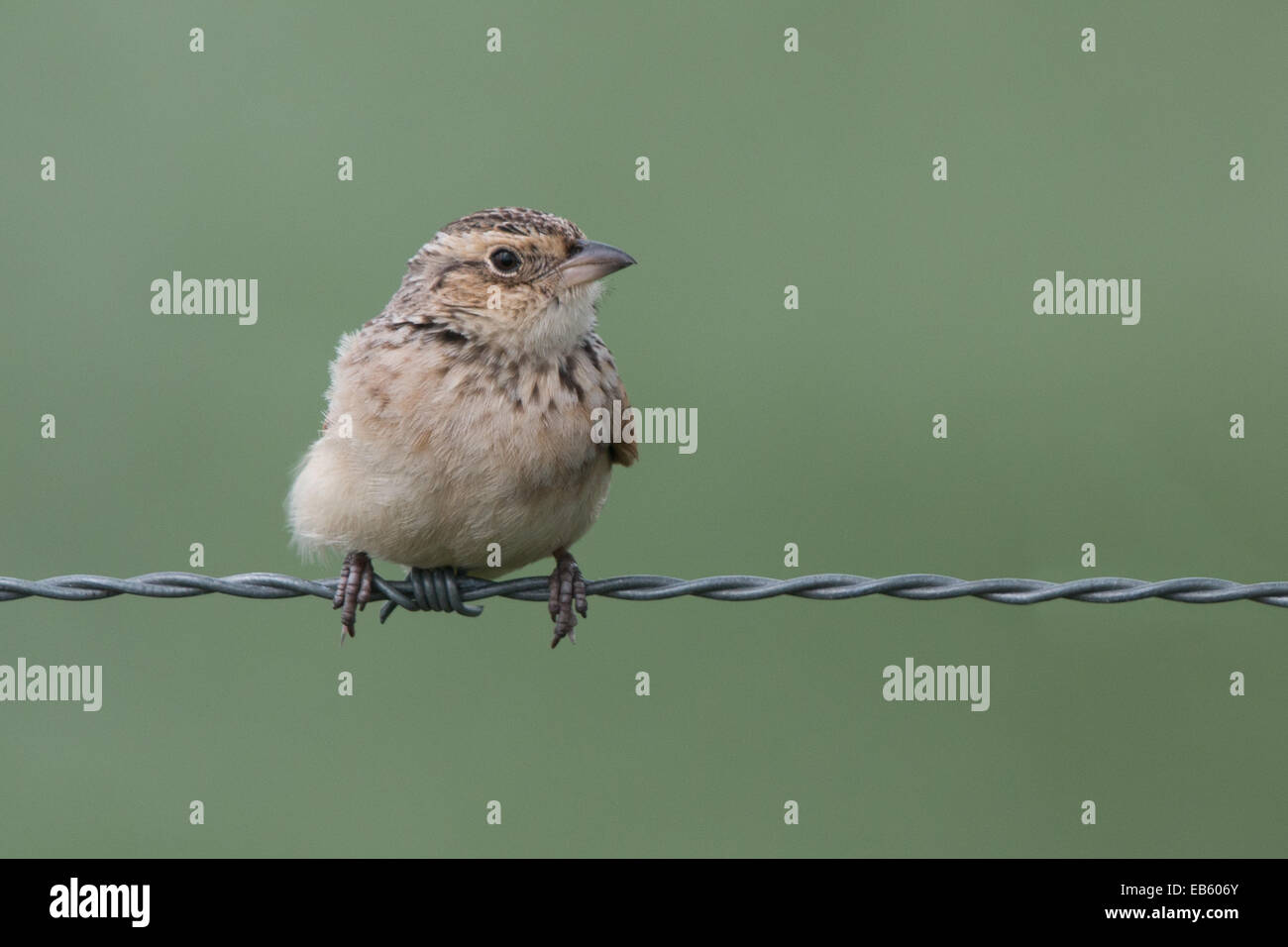 Singing Bushlark (Mirafra javanica) perched on a barbed wire - Stock Image