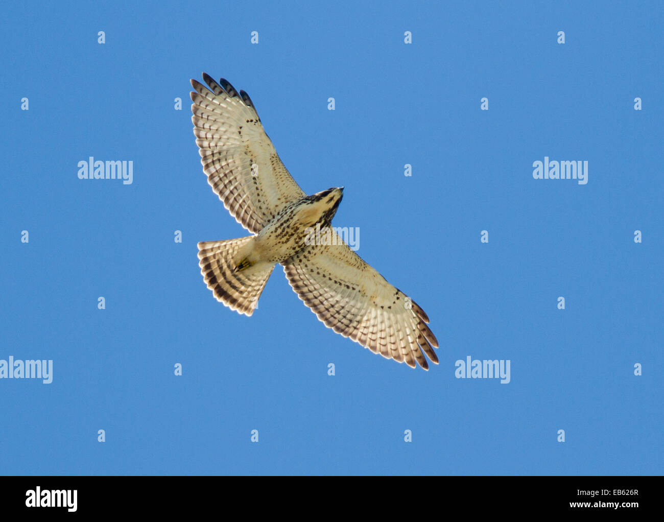 BROAD-WINGED HAWK (Buteo platypterus) on autumn migration to South America, Curry Hammock State Park, Little Crawl Stock Photo